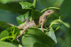 Indian gecko inside a bush looking out ,  Kolkata, India Stock Photos
