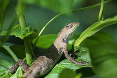 Indian gecko inside a bush looking out ,  Kolkata, India Royalty Free Stock Photos