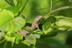 Indian gecko inside a bush looking out ,  Kolkata, India Royalty Free Stock Photos