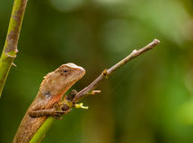 Indian gecko on a tree trunk Royalty Free Stock Photo