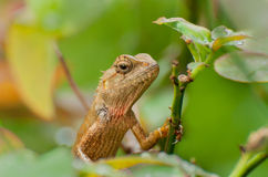 Indian gecko on a tree trunk Stock Photo