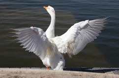 Indian Geese. An Indian Geese spreading it's wings stock images