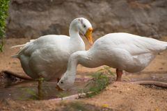 Indian geese royalty free stock photography