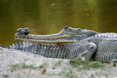 Indian Gharial Royalty Free Stock Images