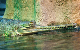 Indian gharial Stock Image