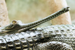 Indian gharial Royalty Free Stock Photography