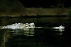 The Indian gharial Royalty Free Stock Photos