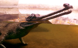 Indian gharial. Close up photo Royalty Free Stock Photo