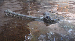 Indian gharial Royalty Free Stock Photo