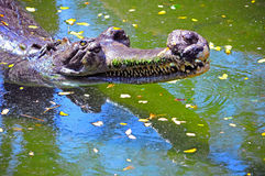 Indian gharial crocodile Royalty Free Stock Image