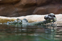 Indian gharial crocodile swimming in a display tank. Stock Images
