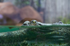 Indian gharial crocodile swimming in a display tank. Royalty Free Stock Image