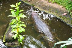 Indian Gharial stock photography