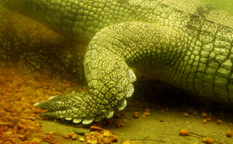 Indian gharial leg Royalty Free Stock Image