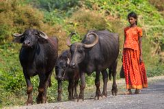 Indian girl taking care of water buffaloes Royalty Free Stock Photos