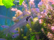 Indian glass catfish in the aquarium. Close up of a transparent fish with a visible skeleton royalty free stock photos