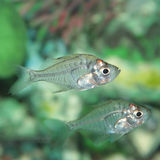 Indian Glass Perch aquarium fish Stock Images