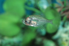 Indian Glass Perch aquarium fish Stock Photo