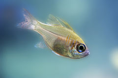 Indian glassy fish - detail, closeup. Indian glassy fish - Parambassis ranga detail, closeup stock photos