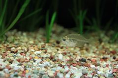 Indian glassy fish. Floating in water stock images