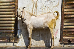 Indian goat Royalty Free Stock Photography
