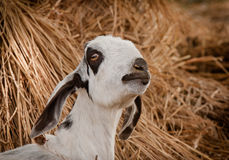 Indian goat Royalty Free Stock Image