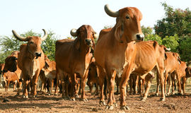 A Indian golden cow Royalty Free Stock Photo