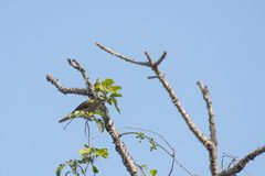 Female of Indian Golden Oriole Feasting on Insect Royalty Free Stock Photography