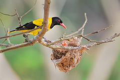 Indian Golden Oriole - Oriolus oriolus kundoo royalty free stock photos