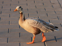 Indian goose Royalty Free Stock Image
