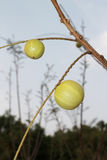Indian Gooseberries Stock Images