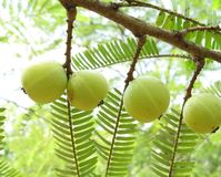 Indian Gooseberry Royalty Free Stock Photo