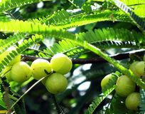 Indian gooseberry. Also known as amla. scientific name phyllanthus emblica. it has Ayurveda medicinal properties Royalty Free Stock Images
