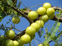 Indian gooseberry ayurvedic fruits Stock Images