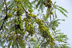 Indian Gooseberry Growing in Tree. Cluster of Indian gooseberry Phyllanthus emblica in tree. Indian gooseberry, amla, is an essential ingredient of traditional royalty free stock photo
