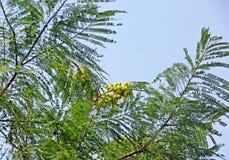 Indian Gooseberry among Lush Foliage Royalty Free Stock Image