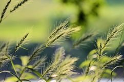 Indian Grass Royalty Free Stock Images