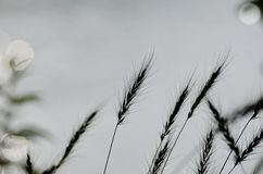 Indian grass silhouette Royalty Free Stock Images