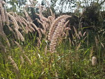 Indian grass in sunlight Royalty Free Stock Images