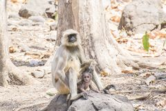 Indian Gray Langur Female with Baby. Sitting on the stone Forest of Central India Madhya Pradesh royalty free stock image