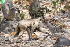 Indian Gray Langur Female with Baby. Walking in the Forest of Central India Madhya Pradesh stock photography