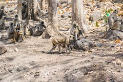 Indian Gray Langur Group and a  Female with Baby. Indian Gray Langur Group and a Female with Baby walking in the Forest of Central India Madhya Pradesh stock photos