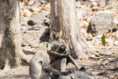 Indian Gray Langur Male and a  Female with Baby. Indian Gray Langur Male and a Female with Baby walking in the Forest of Central India Madhya Pradesh royalty free stock photography