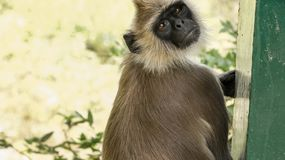 Indian gray langur monkey focused on eyes stock image