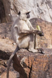 Indian Gray langurs or Hanuman langurs Monkey (Semnopithecus ent Royalty Free Stock Images