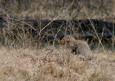 Indian Gray Mongoose. At a forest glade in Pench Tiger Reserve in India Stock Images