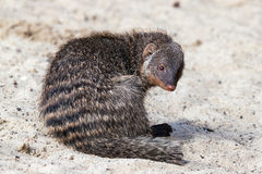 Indian gray mongoose on sand Stock Images
