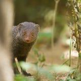 Indian gray mongoose in Sri Lanka Royalty Free Stock Image