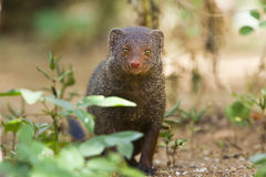 Indian gray mongoose in Sri Lanka Royalty Free Stock Photography