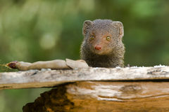 Indian gray mongoose in Sri Lanka. Herpestes edwardsii, Indian gray mongoose in Sri Lanka Stock Photo